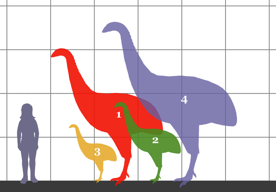 Size comparsion of 4 species of moa and a human. 1. Dinornis novaezelandiae (3 meters tall). 2. Emeus crassus (1.8 meters tall). 3. Anomalopteryx didiformis (1.3 meters). 4. Dinornis robustus (3.5 met