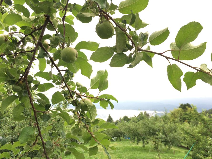 梅雨空の果樹園