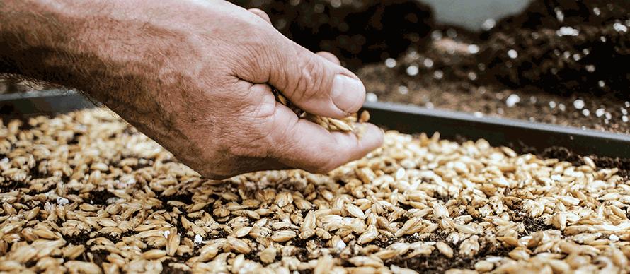 Hand, die Korn aussät