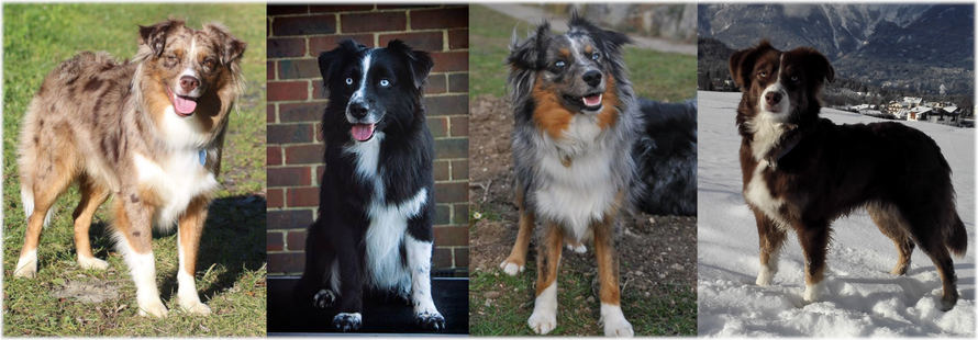 Vier Miniature Australian Shepherds in red merle, black bi, blue merle und red tri.