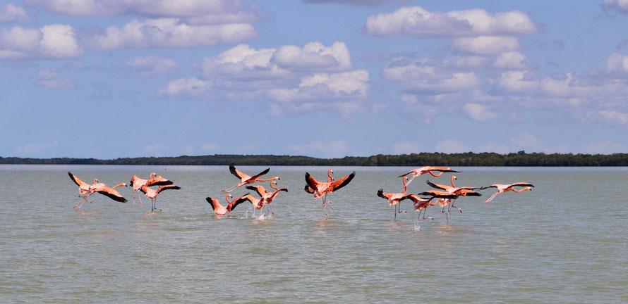 Flamingos in the pink lagoon of Celestun