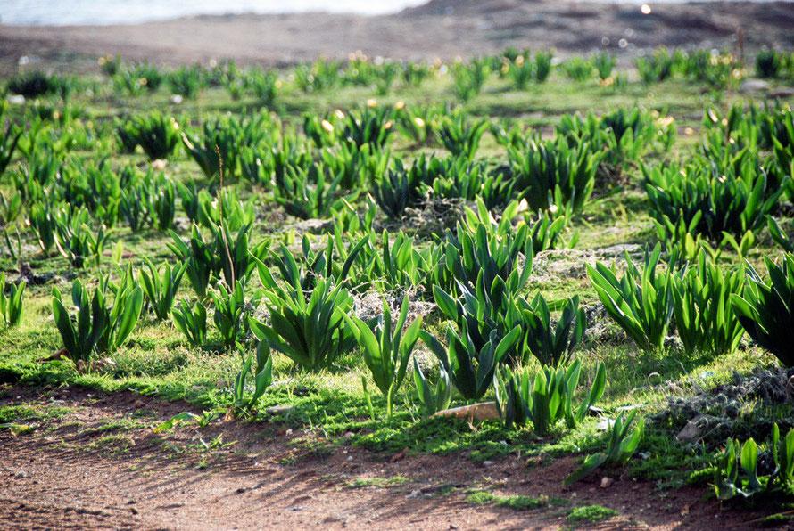 Wild Cyprus tulips, Cape Lara