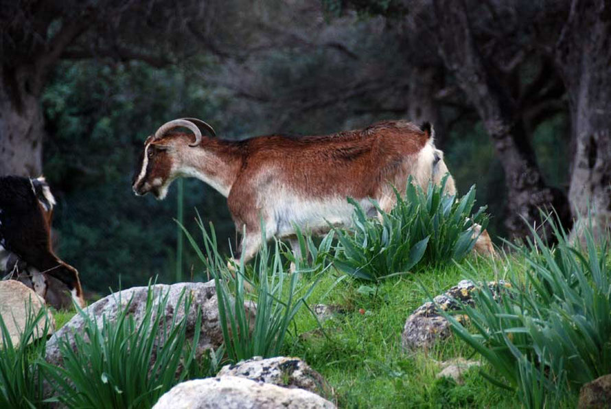Goat and tulip plants, Aphrodite's Bath