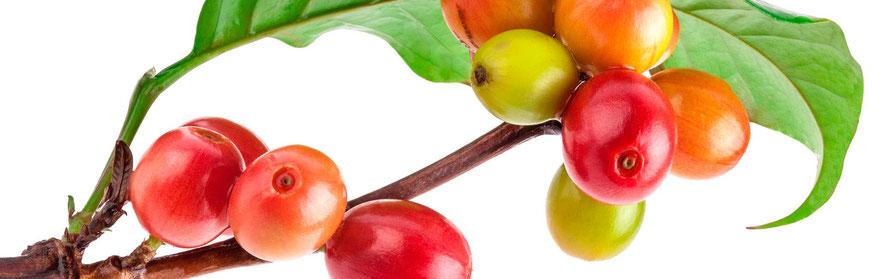 Drupa: il frutto della pianta del caffè, simile alla ciliegia, all'interno ci sono due semi (chicchi) che combacciano