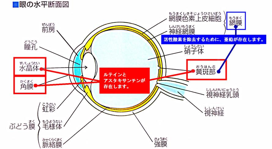 水晶体と黄斑部に、ルテインとアスタキサンチンが多く存在しています。また黄はん部と網膜には、亜鉛が存在します。
