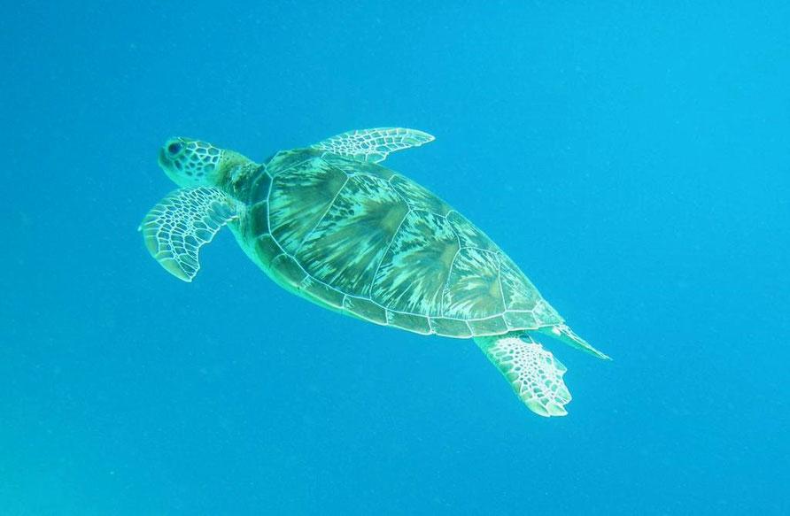 Schildkröte vor Gili Meno