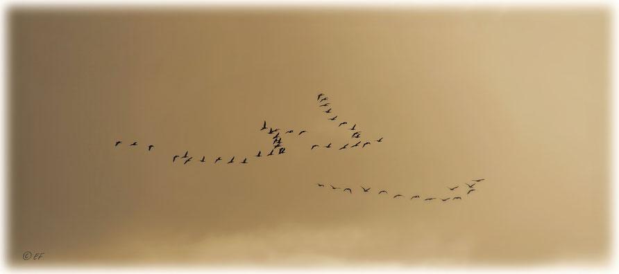 Jeden Winter immer wieder neu zu beobachten: Der anstrengende Flug der Wildgänse