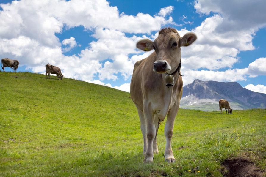 Alpėse nejučia imi pavydėti karvėms kasdienybės / Foto: Kristina Stalnionytė