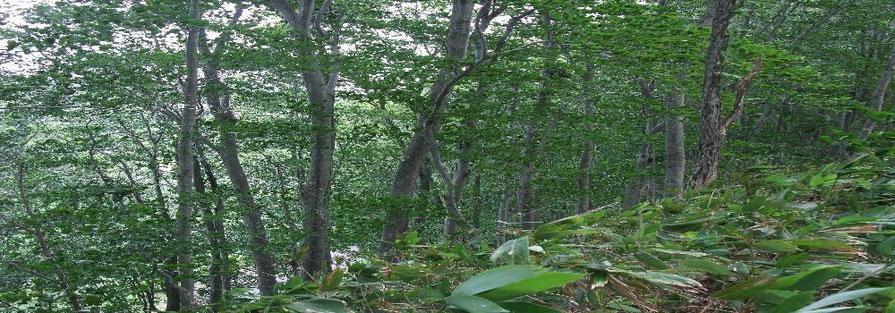 散策したブナの森
