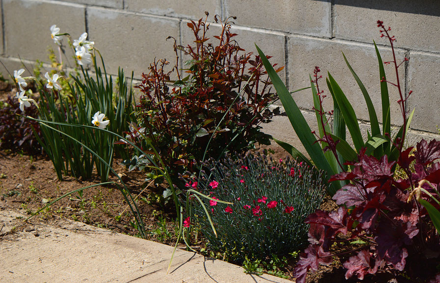 the garden border: dianthus, miniature rose, narcissus, heuchera