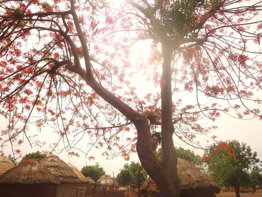 西アフリカ ガーナの木