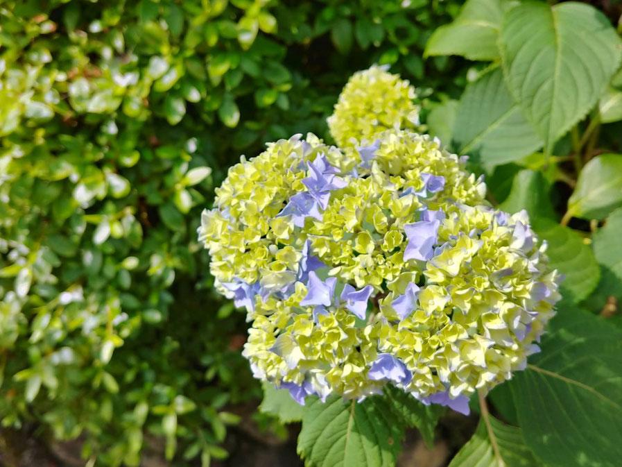 少しだけ色づいているお花があります。これも美しいですよね。見頃はまだまだです。