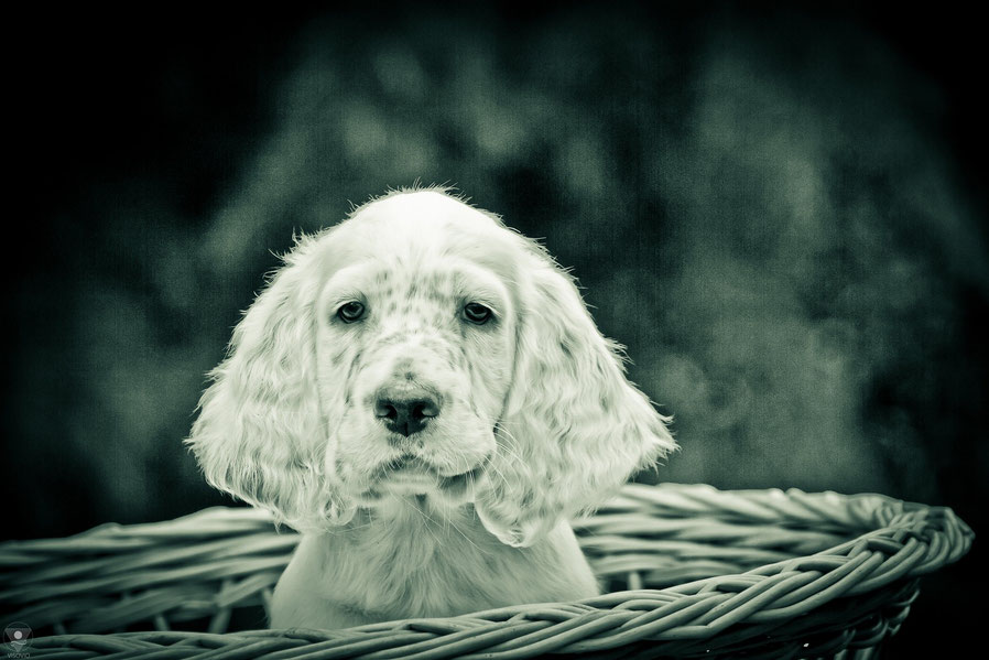 project english setter | visovio fotografie & fotokunst | englishsetter don