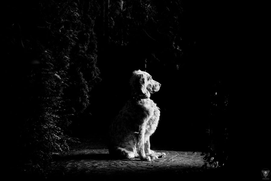 project english setter | visovio fotografie & fotokunst | englishsetter waiting