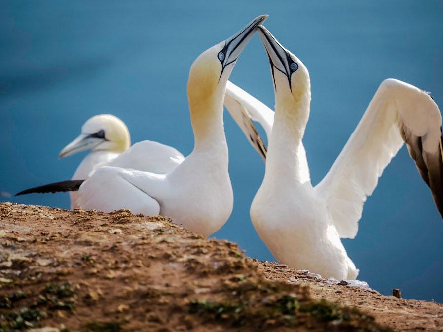 Die Basstölpel sind eine der Attraktionen von Helgoland. Die Vögel kennen keine Scheu vor Menschen, man kann sich Ihnen bis auf wenige Meter nähern.