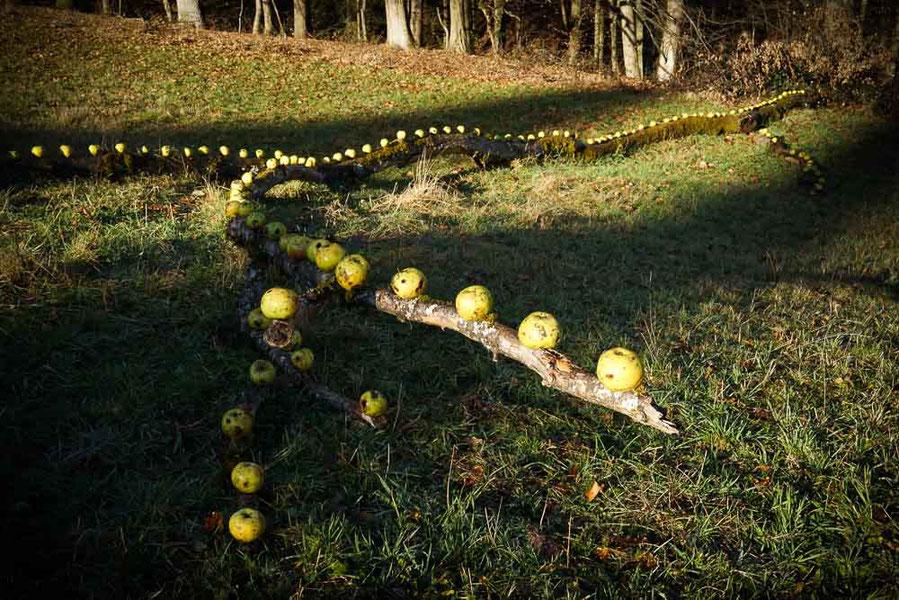 David Klopp | Land Artist | laying apples