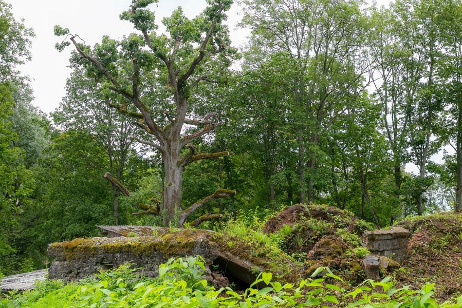Meilės ąžuolas ir pirmojo grafų Borgų namo griuvėsiai Preiliuose Latvijoje