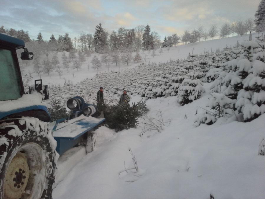 Ernte der Weihnachtsbäume, Christbäume, Tannenbäume vom Schwarzwaldhof Hölzleberg, Josef Gmeiner in Durbach - https://www.hoelzleberg.de