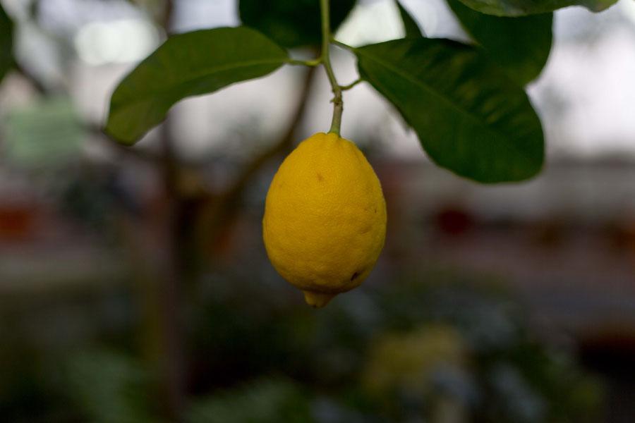 Zitronen im Botanischen Garten von St. Petersburger, Russland