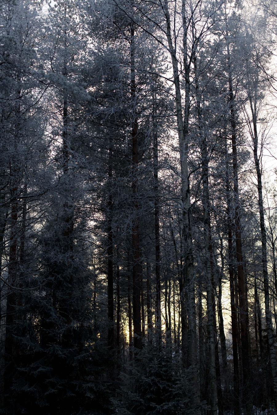 Gefrorene Baumkronen vor dem hell erleuchteten Himmel in Rovaniemi, Finnland
