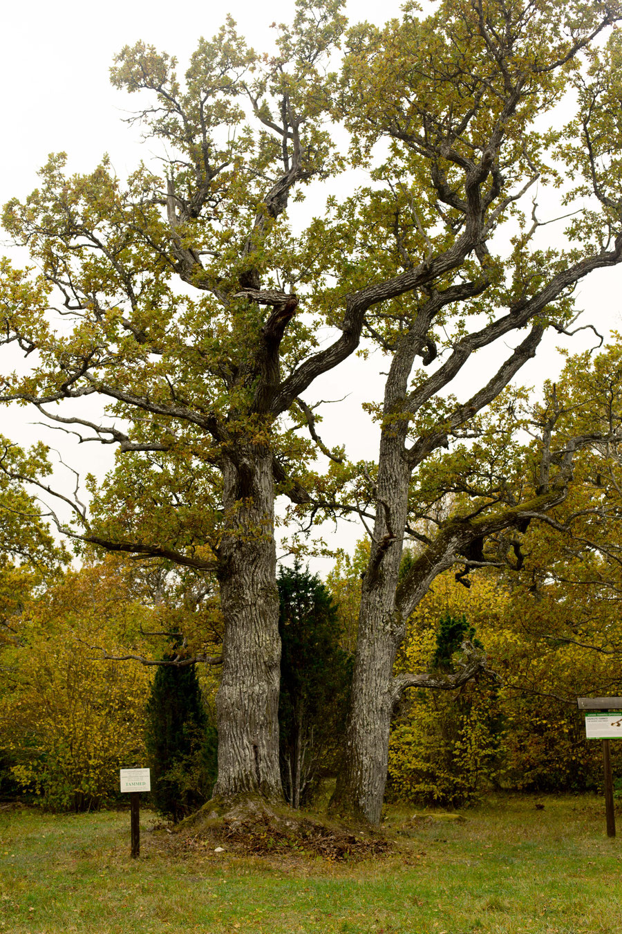 Tammed. Cultural property of a special kind. 400 year old oak trees, named after the brothers John and Joseph Aaviku.