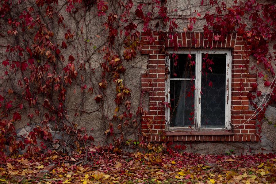 Rot belaubte Kletterpflanze an Hauswand, Sigulda, Lettland
