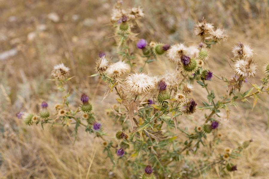 Schöne Bergblumen, Dschermuk, Armenien