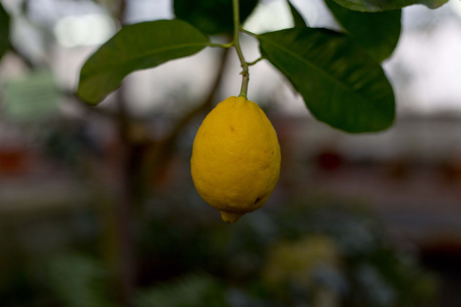 Lemons in St. Petersburg's botanical garden, Russia