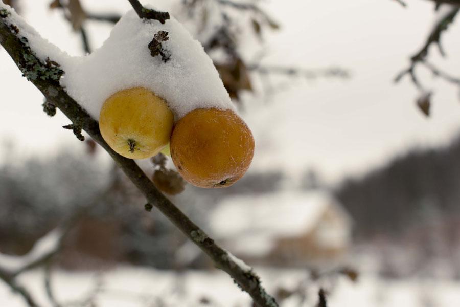 Reste von der Apfelernte, am Baum vor dem Haus, Vantaa, Finnland