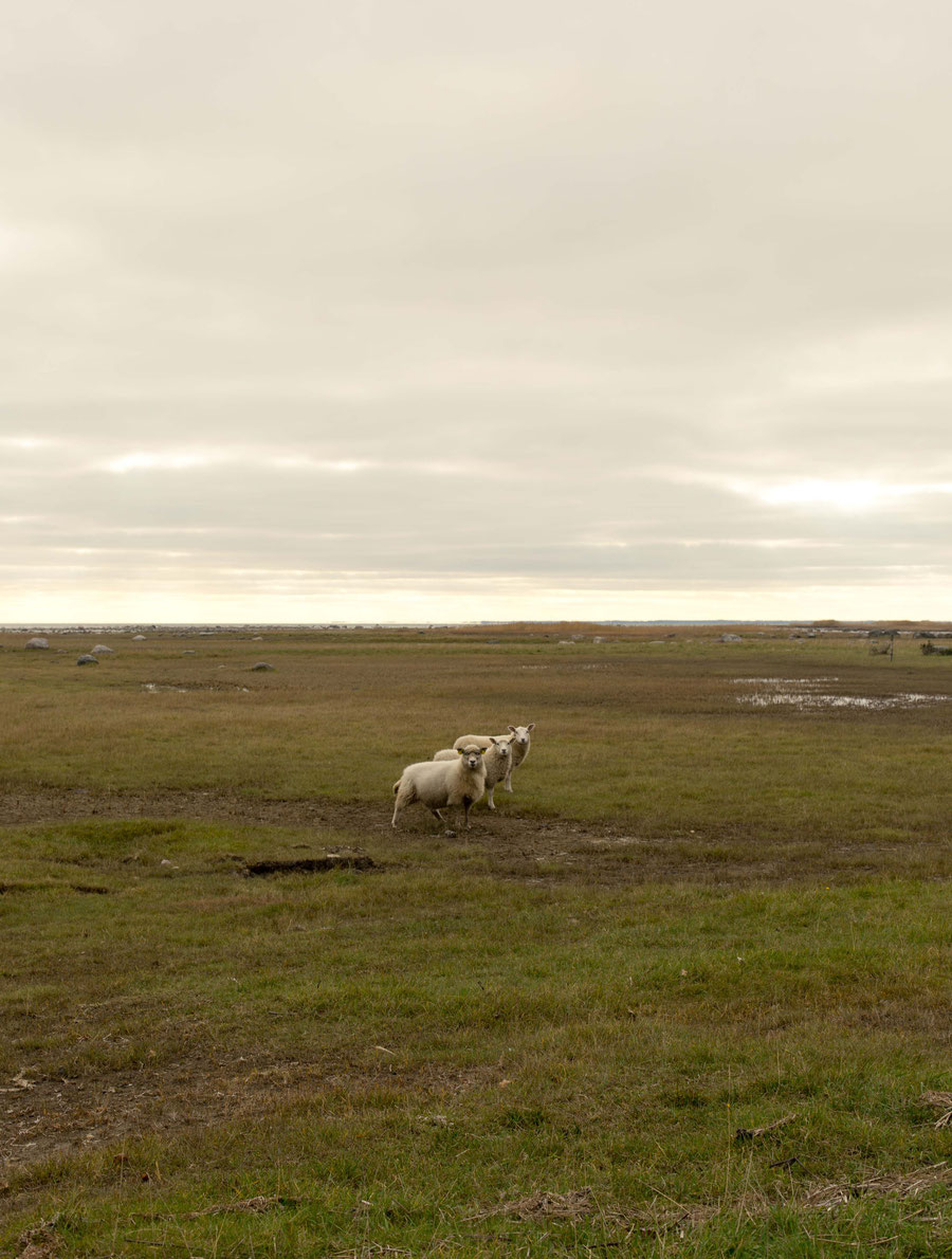 The core family. Sheep grazing on the beach, near Kuressaare, Saaremaa, Estonia.
