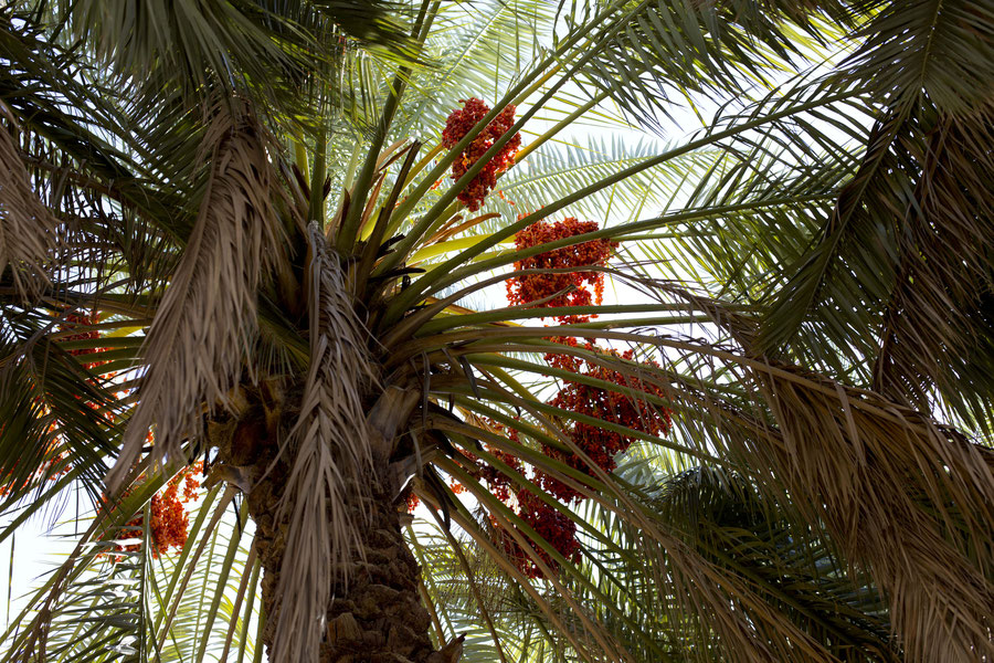 The first palm tree on our way to Banda Abbas, Iran