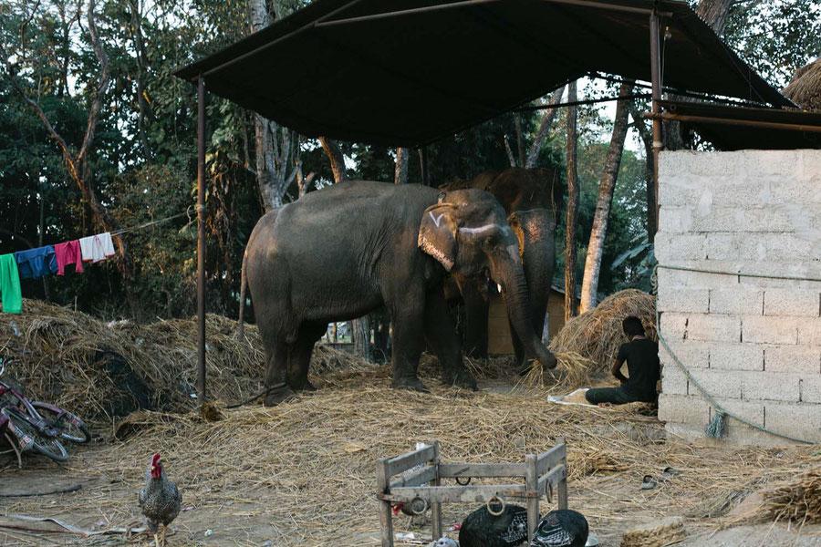 Domesticated Elephants, Sauraha, Chitwan National Park, Nepal