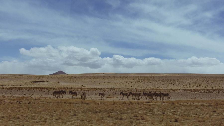 Donkeys and dry bushes, Tibet, China