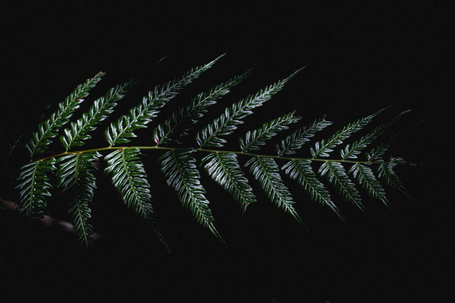 A fern from the undergrowth of the bush in Sydney, Australia