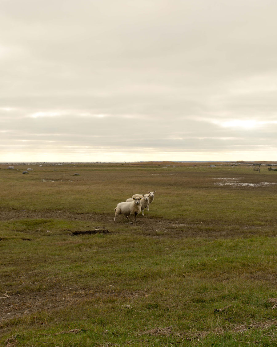 Die Kernfamilie. Schaafe am Strand weidend, bei Kuressare, Saaremaa, Estland.
