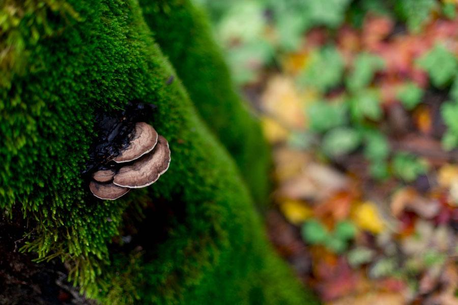 Pilz oder Schwamm im Gaujatal, Lettland