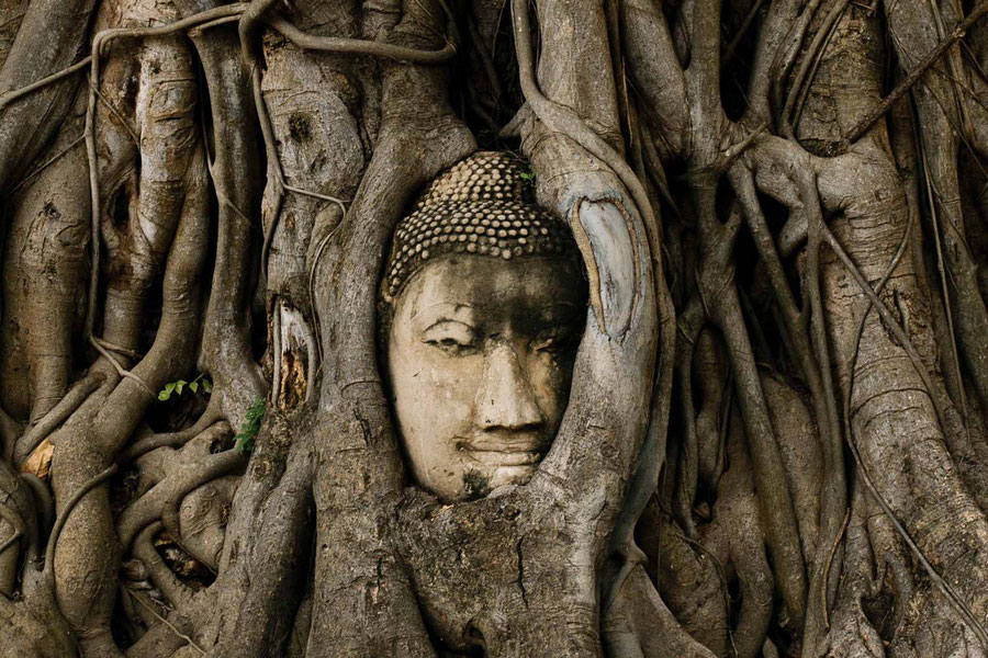 Der Kopf umschlungen vom Baum, Ayutthaya, Thailand