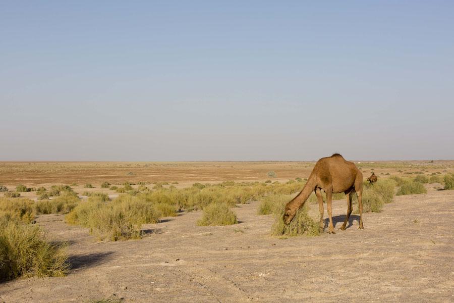 Dromedar in Wüste, Wüste Manajab, Iran
