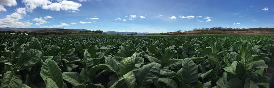 Tabakfeld in Estelí, Nicaragua