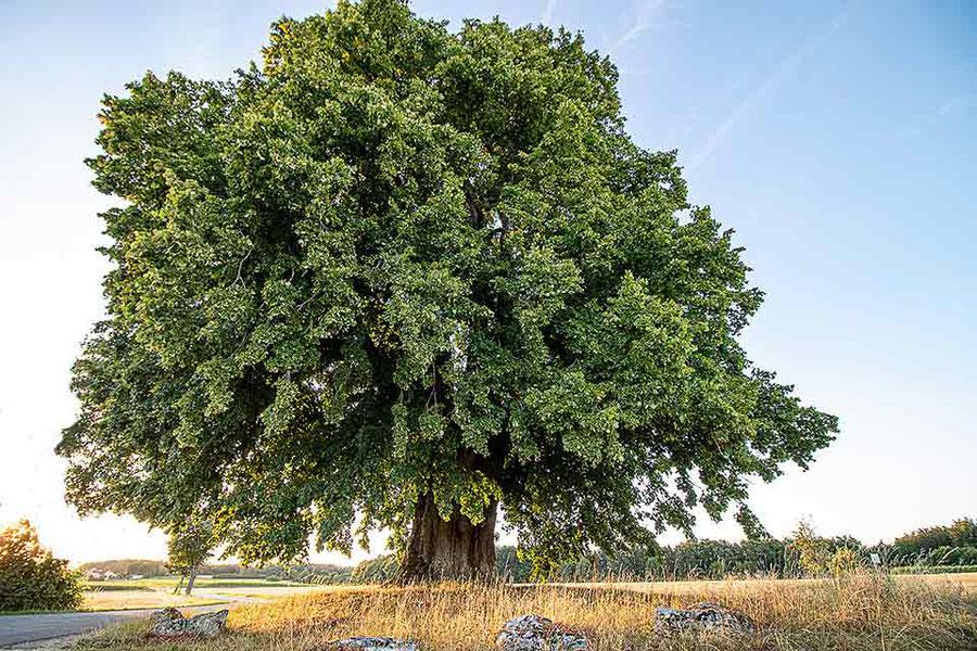 Ein alter Baum. Große Roteiche in der Eremitage in Bayreuth