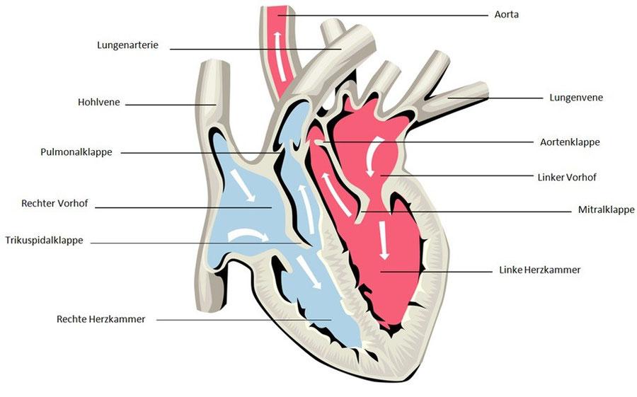 Anatomie des Herzens - Forschungsgemeinschaft Gesundheit
