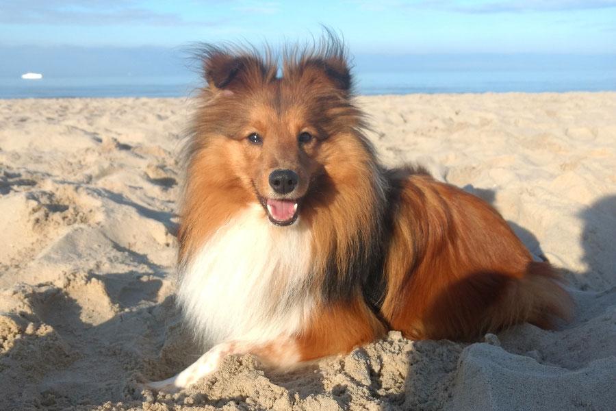 Indian Sammy of Atocha liebt das Spielen im Sand an der Ostsee.