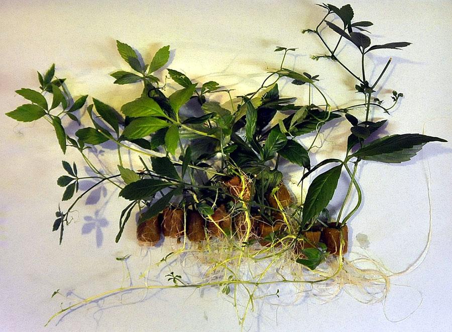 Stecklinge und Rhizome. Jiaogulan-Vermehrung