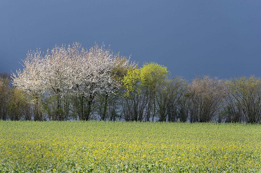 Kretenblüte im Knick und Rapsfeld vor der Blüte