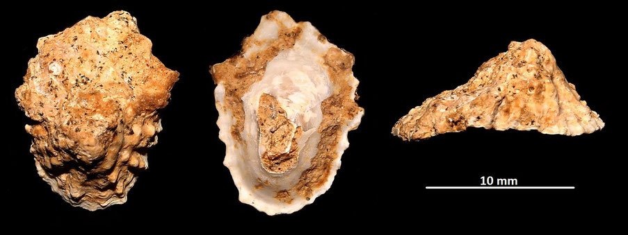 Patella ferruginea, Sant'Agostino (Civitavecchia, RM)