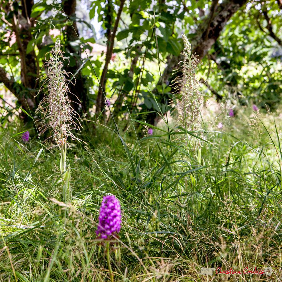 Deux Orchis bouc, qui fleurissent chaque année, entourés de six Orchis Pyramidal