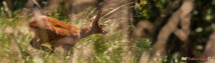 Chevrette, femelle du chevreuil, en plein course. Cénac, 1er juiller 2018