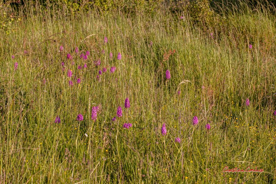 Orchis pyramidal, Anacamptis pyramidalis. Haut-Brignon, Cénac. Samedi 16 mai 2020. Photographie : Christian Coulais