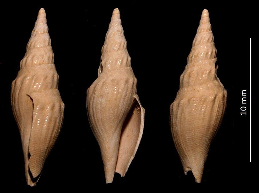 Genotia ramosa var. evanescens, Miocene dell'Aquitania