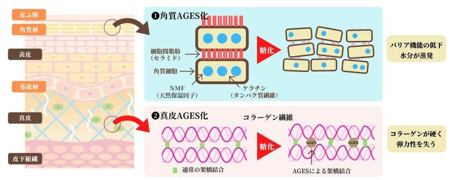 角質AGEs化と真皮AGEs化による肌細胞のダメージ